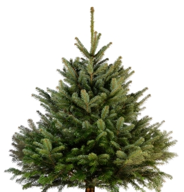 Fresh Nordmann Fir Christmas Trees